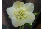 Yellow anemone centred hellebore