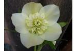 Helleborus x hybridus 'Hybrides de Barnhaven' Jaune anemone