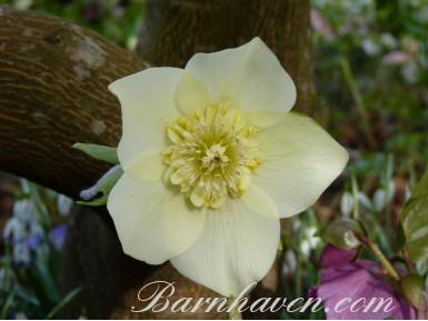 Helleborus x hybridus 'Barnhaven hybrids' Anemone Centre Yellow Shades