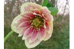 Hellebore seed double yellow spotted