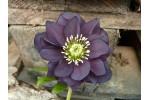 Helleborus x hybridus 'Hybrides de Barnhaven' Double ardoise
