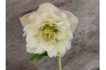 Rose de Carême double abricot