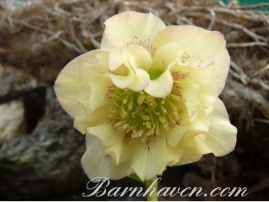 Helleborus x hybridus 'Barnhaven hybrids' Double Apricot Shades