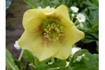 Helleborus x hybridus 'Hybrides de Barnhaven' Guttatus Jaune