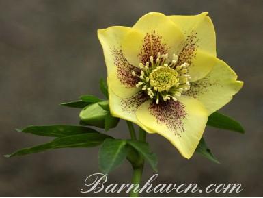 Helleborus x hybridus Yellow Spotted