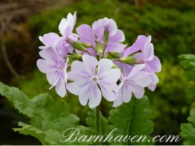 Primula sieboldii 'Hanamonyo'