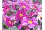 Primula vulgaris Glengariff