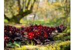 Primula vulgaris INNISFREE PINK