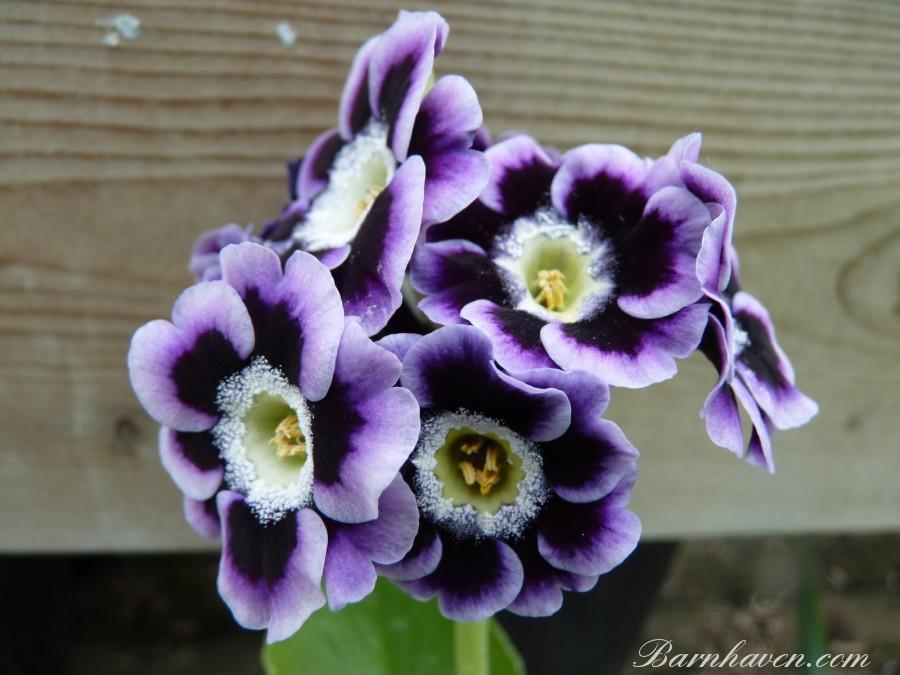 Shaded Violet Border auricula