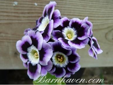 Auricule de jardin Violet ombre