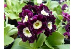 BARNHAVEN BORDER AURICULAS - Shaded Purple shades