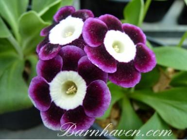 BARNHAVEN BORDER AURICULAS - Shaded Purple shades