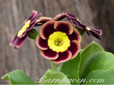 Alpine auricula IMPECCABLE