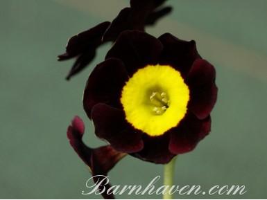 Auricule alpine Ken Chilton