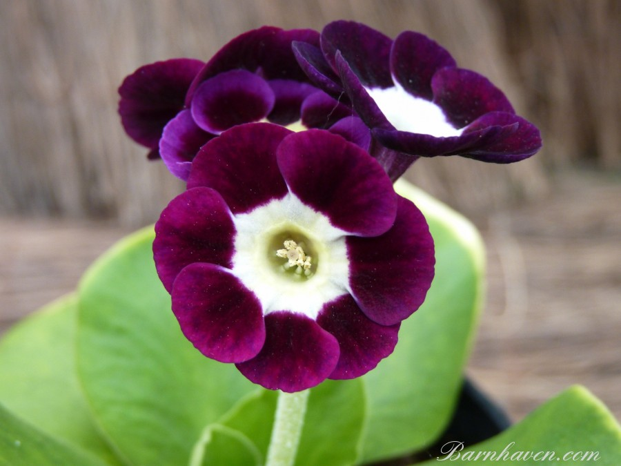 Alpine auricula 'Mr R. Bolton'