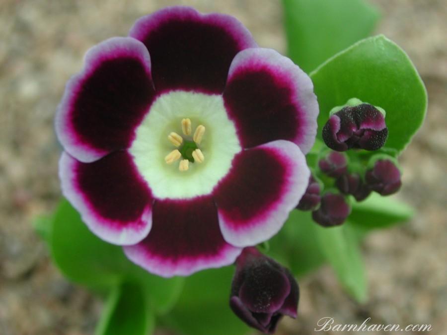 Alpine auricula ''Phyllis Douglas'