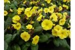Polyanthus primrose YELLOW COWICHAN