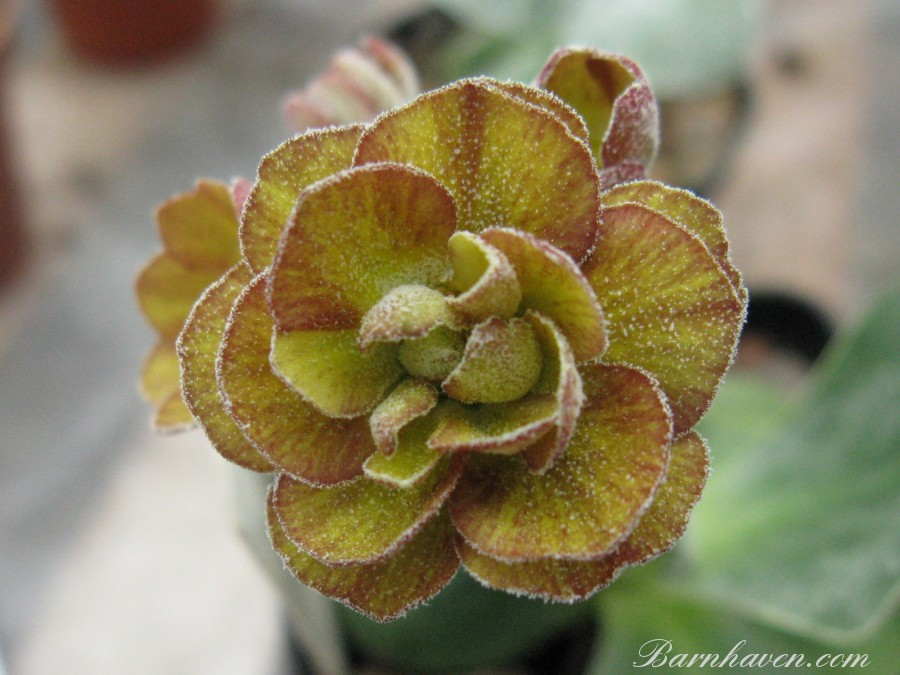 Double auricula Brimstone and Treacle