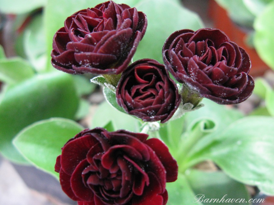Double auricula Robinette