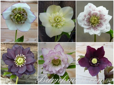 BARNHAVEN HELLEBORE HYBRIDS - Hand-pollinated plant collection - Special Collection