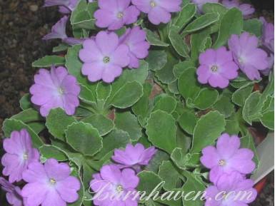 Alpinprimel Stradbrook Lilac Lustre