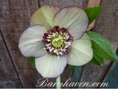 Hellebore red and green anemone centre
