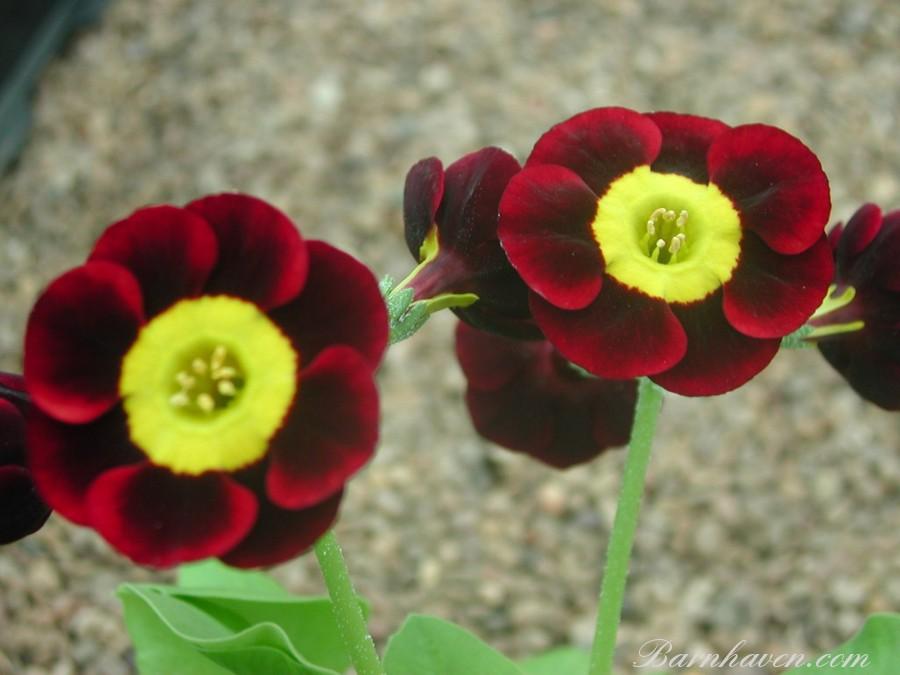 Auricule alpine Shergold
