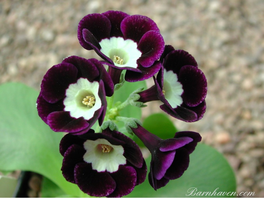 Alpine auricula The Czar