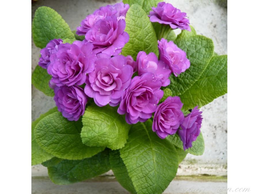 Bon Accord Purple