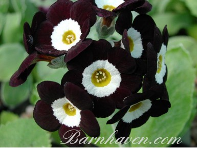 Auricule noire Erjon