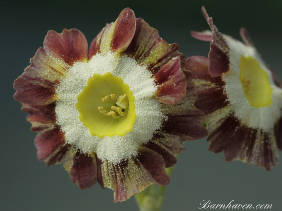 Primula auricula Likely Lad