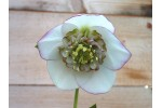 White anemone centred hellebore