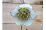 Helleborus x hybridus 'Barnhaven Hybriden'- Anemonenblütige, Weiss