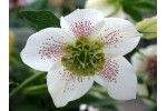 Helleborus x hybridus 'Hybrides de Barnhaven' Blanc anemone