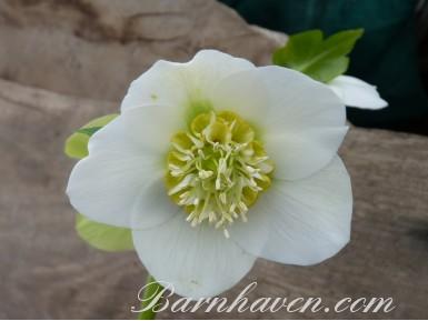 Helleborus x hybridus 'Barnhaven hybrids' Anemone Centre White
