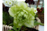 White and Green Double hellebores