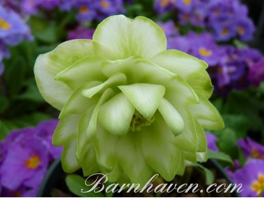 Helleborus x hybridus 'Barnhaven hybrids'  Double White and Green Shades