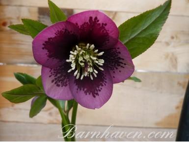 Purple Spotted Hellebore