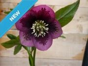 Helleborus x hybridus 'Barnhaven Hybrids' - Single Purple Spotted Strain