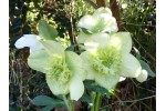 Hellebore Anemone White and Green