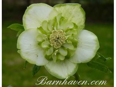 Helleborus x hybridus 'Barnhaven hybrids' Anemone Strain - Green and White
