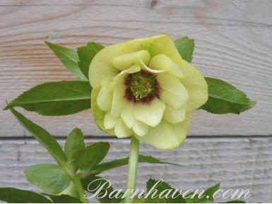 Helleborus x hybridus 'Hybrides de Barnhaven' Jaune Double Guttatus
