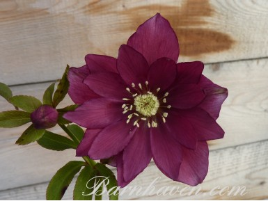 Double hellebore red