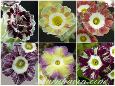 Striped auricula collection