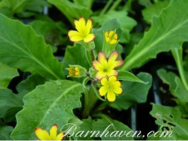 Oak Leaf Primrose - Yellow Picotee