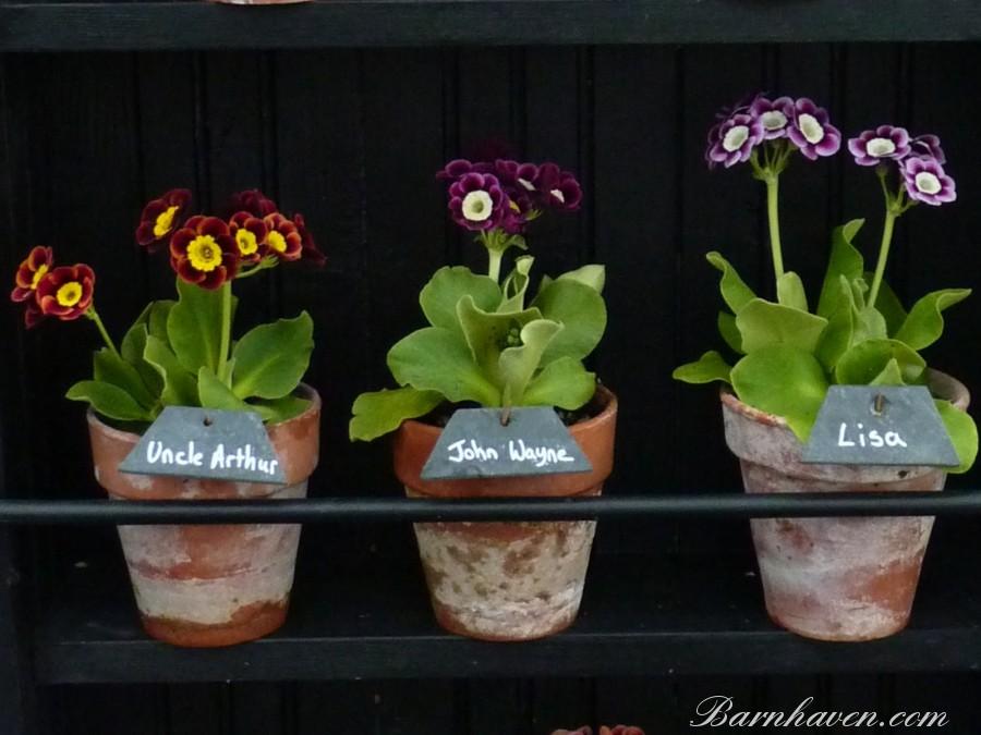 ALPINAURIKELN - Pflanzen Kit