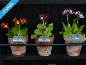 AURICULES ALPINES - Kit de plantes