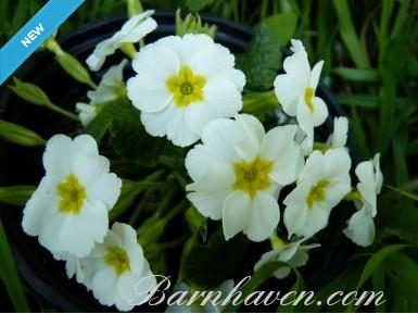 Primula WHITE Juliana