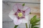 Hellebore picotee anemone centre
