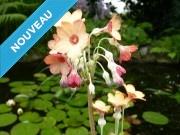 Primula florindae 'Mangue'